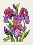 Purple Irises Watercolor