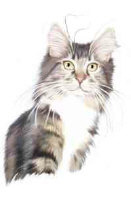 Silver and White Maine Coon