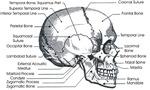 Skull Side View