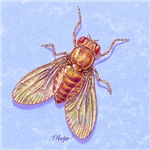 Drosophila The Fruit Fly