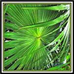 AUDUBON PALM FRONDS