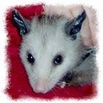 Little Possum