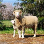 Ewe and Lamb Square Image