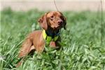 Vizsla Field Dog