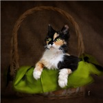 Calico Cat in Basket