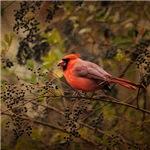 Song of the Redbird 2