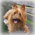 Awesome Australian Terrier