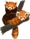 Red Pandas