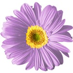 Pop Art Purple Daisy T-shirts & Gifts