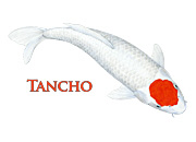 Tancho Koi