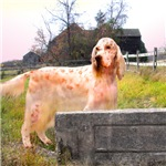 Farmland English Setter