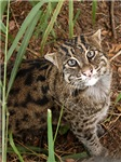 Fishing Cats