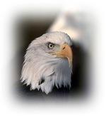 Bald Eagle T-shirts, Bald Eagle Shirts