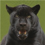 Black Jaguar Square Photo