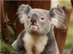 Koala Bear 10
