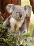 Koala Bear 6