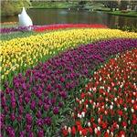 Tulips Garden Of Europe