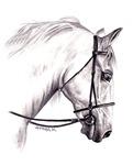 HORSES - 'THE LIPPIZANER'
