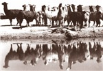 Sepia Llamas in Peru