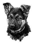 shepherd puppy
