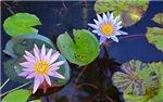 Water Lilies in Kauai