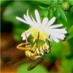 Wasp Mimic