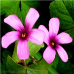 Violet Wood Sorrel Wildflowers