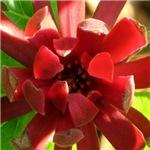 Anise Flower Blossom