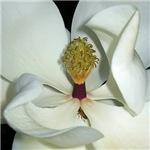 Magnolia grandiflora magnificent embrace