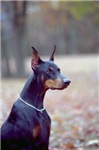 Doberman Pinscher Photo T-Shirt