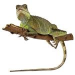 Iguana Photo Gifts