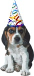 Beagle Birthday