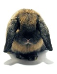 Holland Lop Rabbit Tort