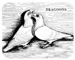 Dragoon Pigeons