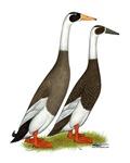 Runner Ducks Emery Penciled