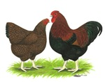 Partridge Wyandotte Chickens