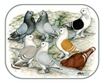 Classic Frill Barred Pigeons