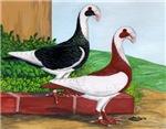 Scandaroon Pigeons