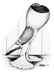 Bavarian Pouter Pigeon