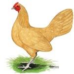 Buff OE Hen
