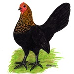 Brown Red OE Hen