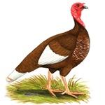 Bourbon Red Hen Turkey