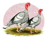 Royal Palm Turkeys2