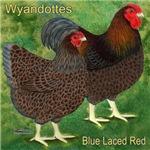 Beautiful Wyandottes