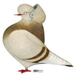 Khaki Cap Pigeon
