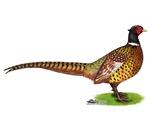 Wild Ringneck Pheasant