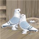 Satinette Pigeon Pair