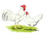 White Leghorn Fowl