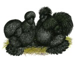 Black Silkie Bantams