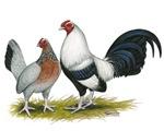 Silver Duckwing OE Bantams